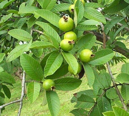guava levelek zsírvesztés céljából)